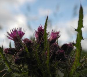 Sumpf Kratzdistel Bluete lila Cirsium palustre 09