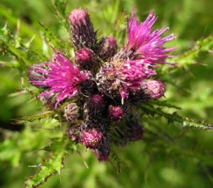 Sumpf Kratzdistel Bluete lila Cirsium palustre 13