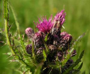 Bild: Sumpf Kratzdistel Bluete lila Cirsium palustre