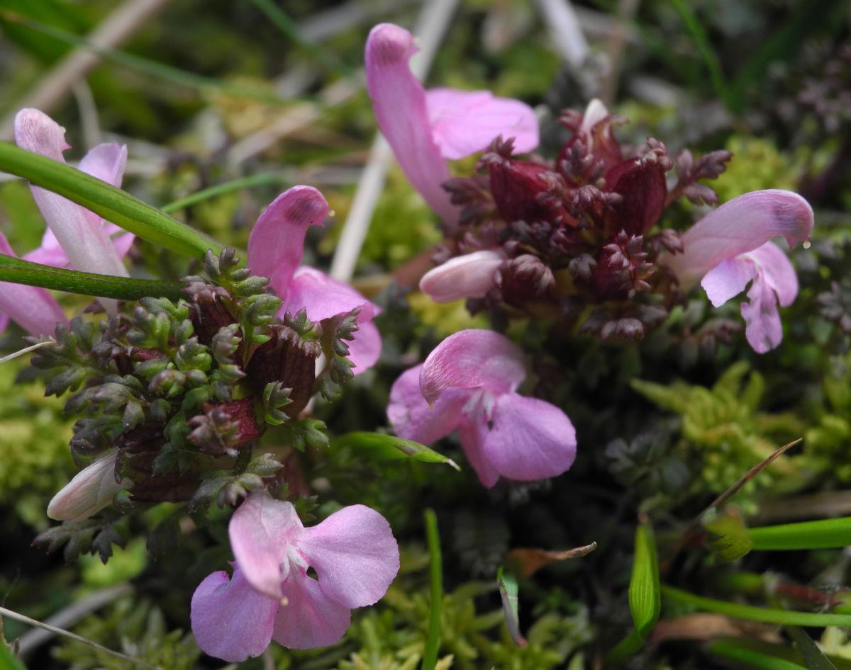 Sumpf Laeusekraut Bluete pink Pedicularis palustris