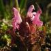Zurück zum kompletten Bilderset Sumpf-Läusekraut Blüte pink Pedicularis palustris