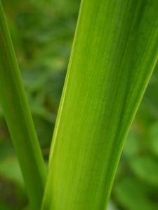 Sumpf Schwertlilie Blatt gruen Iris pseudacorus 01
