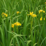 Sumpf Schwertlilie Bluete gelb Iris pseudacorus 02