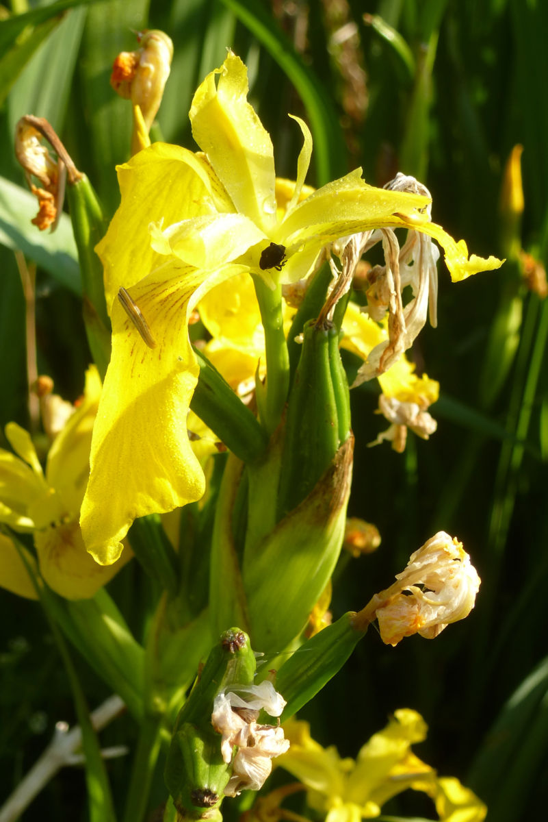 Sumpf Schwertlilie Bluete gelb Iris pseudacorus
