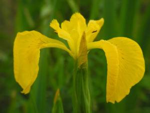 Sumpf Schwertlilie Bluete gelb Iris pseudacorus 04