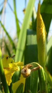 Sumpf Schwertlilie Bluete gelb Iris pseudacorus 08