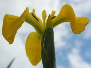 Sumpf Schwertlilie Bluete gelb Iris pseudacorus 17