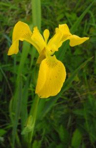 Sumpf Schwertlilie Bluete gelb Iris pseudacorus 19