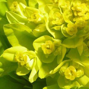 Sumpf Wolfsmilch gelb gruen Euphorbia palustris 02