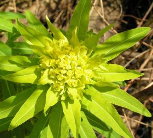 Sumpf Wolfsmilch gelb gruen Euphorbia palustris 03