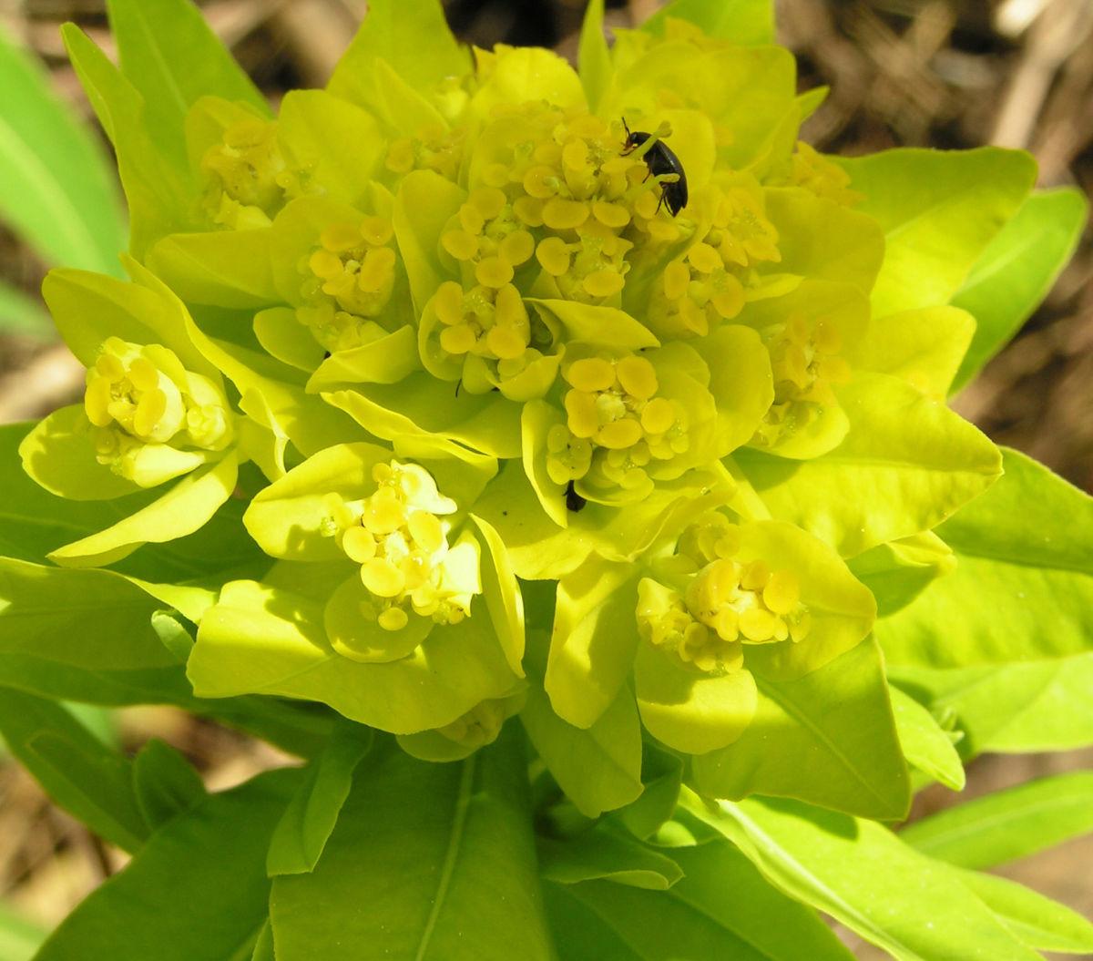 Sumpf Wolfsmilch gelb gruen Euphorbia palustris