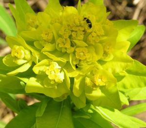 Sumpf Wolfsmilch gelb gruen Euphorbia palustris 04
