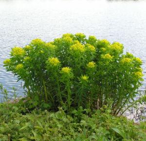 Sumpf Wolfsmilch gelb gruen Euphorbia palustris 07