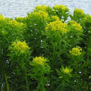 Sumpf Wolfsmilch gelb gruen Euphorbia palustris 08