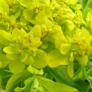 Sumpf Wolfsmilch gelb gruen Euphorbia palustris 09