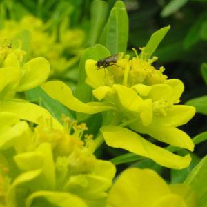 Sumpf Wolfsmilch gelb gruen Euphorbia palustris 10