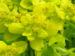 Zurück zum kompletten Bilderset Sumpf-Wolfsmilch gelb grün Euphorbia palustris