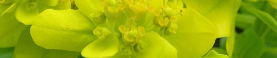 sumpf-wolfsmilch-gelb-gruen-euphorbia-palustris