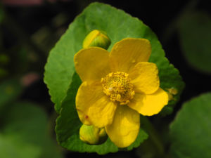 Sumpfdotterblume Bluete gelb Caltha palustris 05