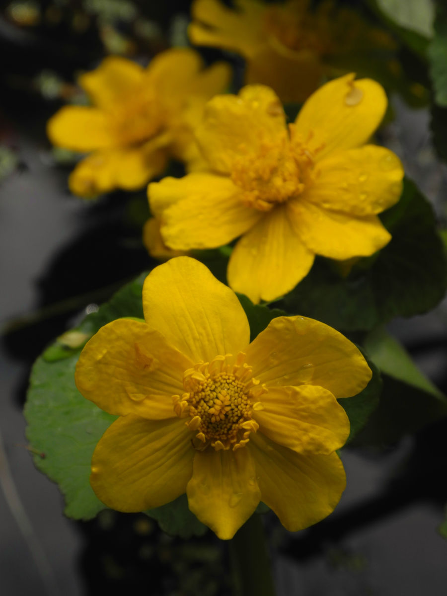 Sumpfdotterblume Bluete gelb Caltha palustris