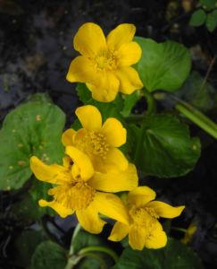 Sumpfdotterblume Bluete gelb Caltha palustris 09