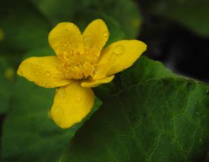 Sumpfdotterblume Bluete gelb Caltha palustris 12