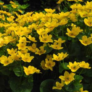 Sumpfdotterblume Bluete gelb Caltha palustris 15