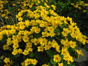 Sumpfdotterblume Bluete gelb Caltha palustris 16