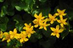 Bild: Sumpfdotterblume Blüte gelb Caltha palustris