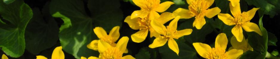 Anklicken um das ganze Bild zu sehen Sumpfdotterblume Blüte gelb Caltha palustris