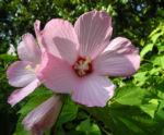 sumpfeibisch bluete rosa hibiscus moscheutos 01