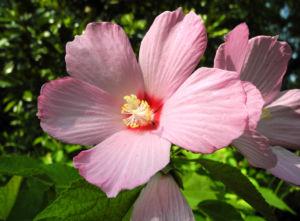 sumpfeibisch bluete rosa hibiscus moscheutos 02