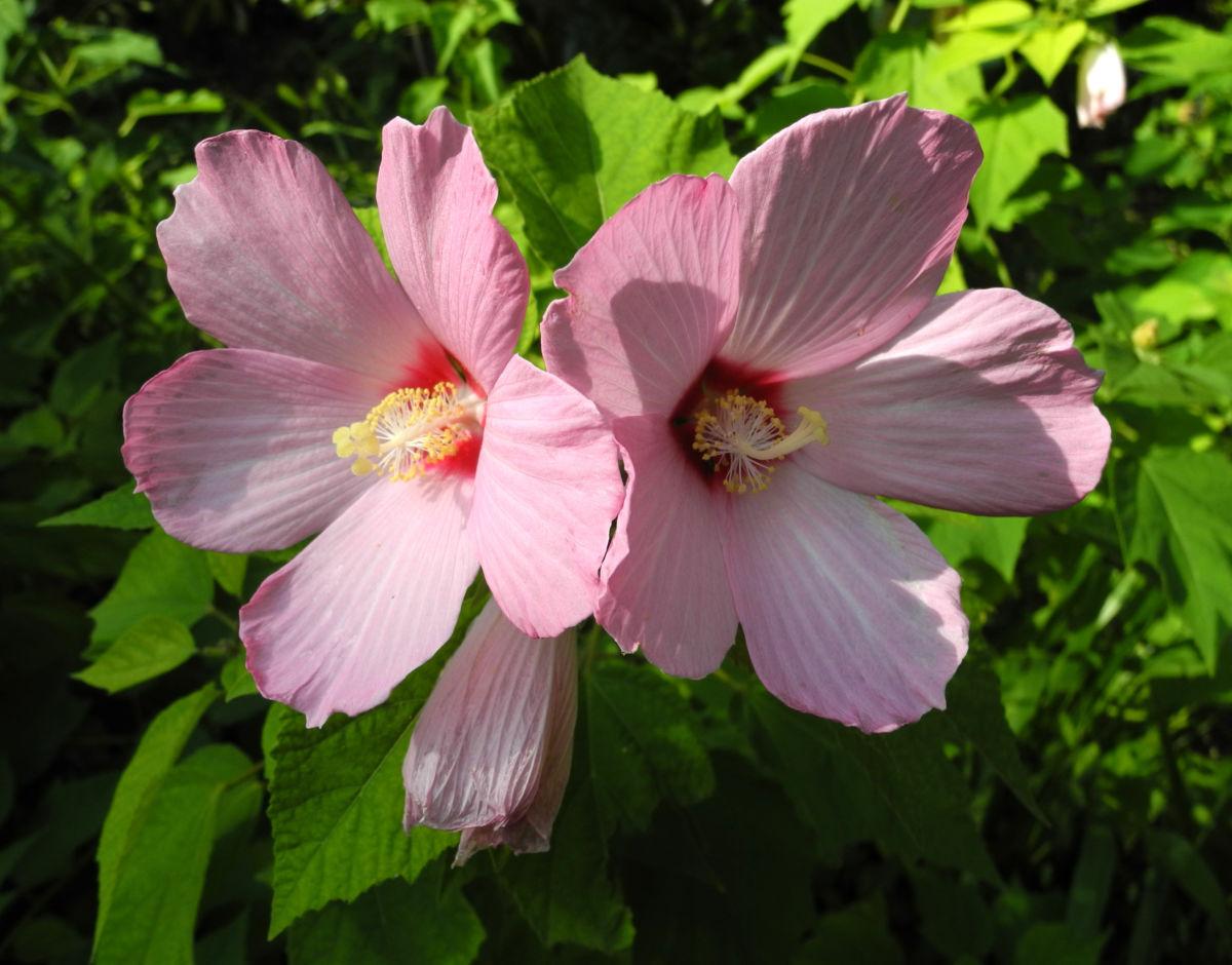 sumpfeibisch bluete rosa hibiscus moscheutos