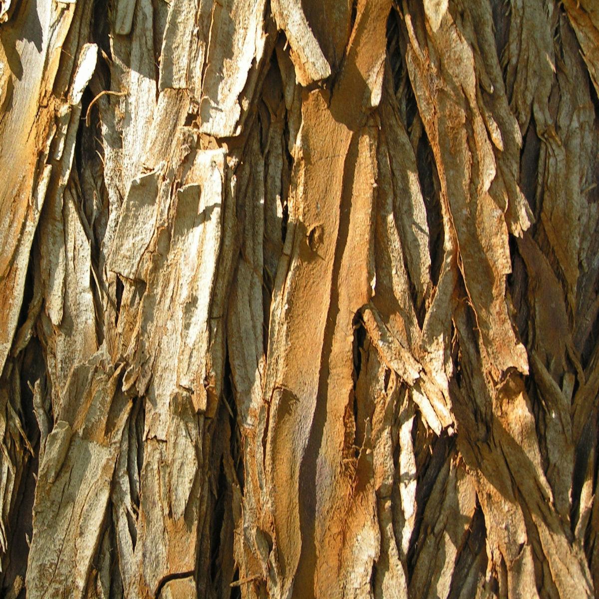Sumpfzypresse Sumpfeibe Rinde Blatt gruen Taxodium distichum