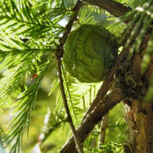 Sumpfzypresse Sumpfeibe Rinde Blatt gruen Taxodium distichum 03
