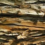 Sumpfzypresse Sumpfeibe Rinde Blatt gruen Taxodium distichum 04