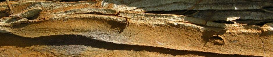 sumpfzypresse-taxodium-distichum