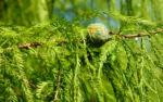 Sympfzypresse Nadel Frucht gruen Taxodium distichum 04