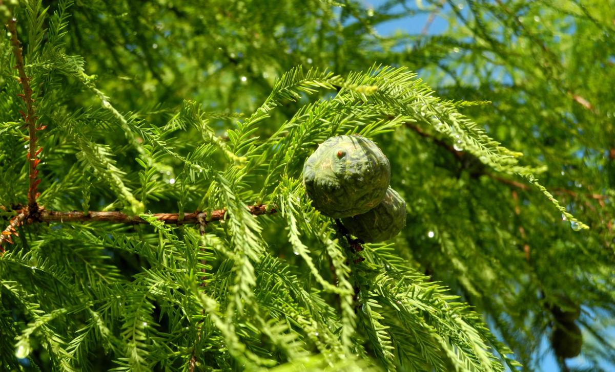 Sympfzypresse Nadel Frucht gruen Taxodium distichum