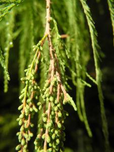 Sympfzypresse Nadel gruen Taxodium distichum 04