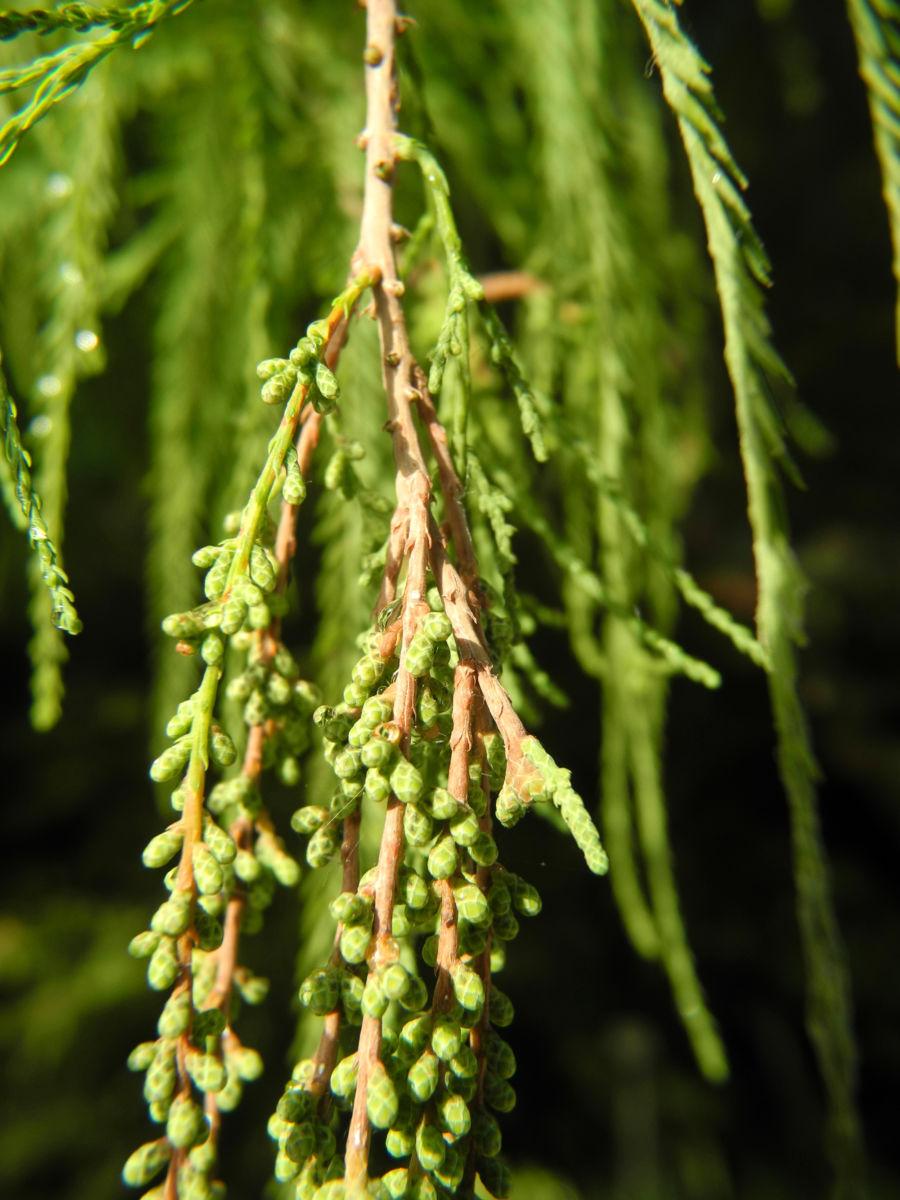 Sympfzypresse Nadel gruen Taxodium distichum