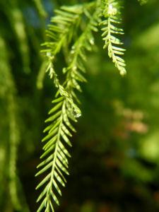 Sympfzypresse Nadel gruen Taxodium distichum 05