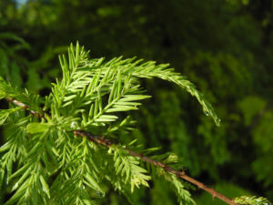 Sympfzypresse Nadel gruen Taxodium distichum 18