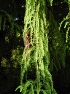 Sympfzypresse Nadel gruen Taxodium distichum 21
