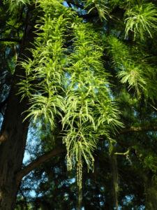 Sympfzypresse Nadel gruen Taxodium distichum 22