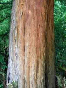 Sympfzypresse Taxodium distichum