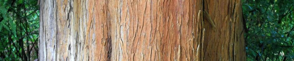 Anklicken um das ganze Bild zu sehen Sympfzypresse Taxodium distichum