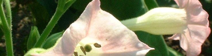 Anklicken um das ganze Bild zu sehen Virginischer Tabak Blüte hell pink Nicotiana tabacum