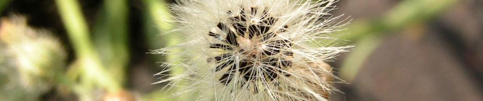 Anklicken um das ganze Bild zu sehen Täuschendes Habichtskraut Blüte gelb Hieracium fallax
