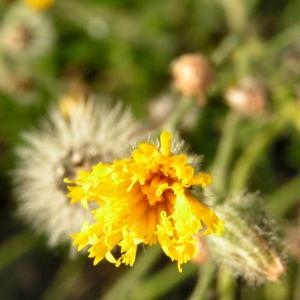 Taeuschendes Habichtskraut Bluete gelb Hieracium fallax 03